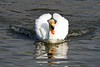 Mute Swan, Nailsea Pool. 02/04/2012.