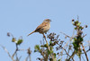 Dunnock. Near Tintagel Cornwall. 17/04/2011